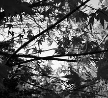 Maple in monocrome by LoanExhibit