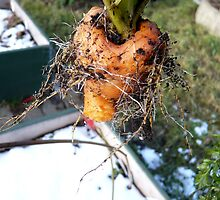 King Winters Carrot by HeklaHekla