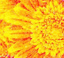orange yellow gerber daisies macro by Adam Asar