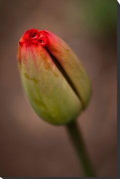 Tulipano by EdwardKay