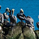 Pelican Convention at Saulsalito by Yukondick