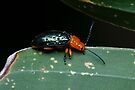 Orange-blue Narrow-necked Leaf Beetle - Criocerinae lema by Normf