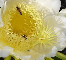 White cacti flower wth bees by shellandshilo
