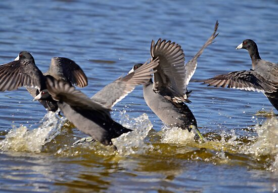 And Its a Coot Race (Bang _ And They Are Off) by imagetj