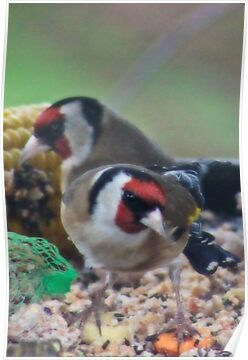 Goldfinch Pair by missmoneypenny