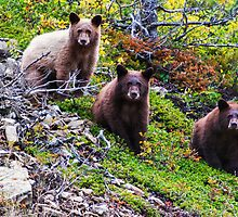 The Three Amigos - Black Bear Cubs by Mark Kiver