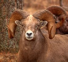 Big Ram, Big Glare by JamesA1