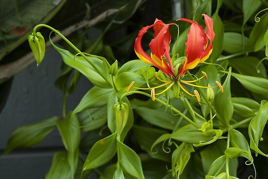 Flame Lily by Peter Edwards