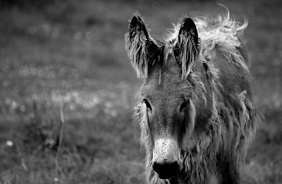 Oh Little Donkey by Ladymoose