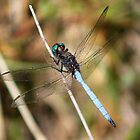 Electric blue Dragon Fly by Edward Ansett-Cunningham