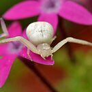 Goldenrod Flower Spider by Kathy Baccari