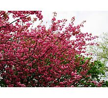 Deep Pink Tree Blossoms Photographic Print