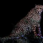 Cheetah in Africa by RonelBroderick
