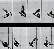 Flying bird, plate 756 from 'Animal Locomotion', 1887 by Bridgeman Art Library