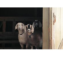 Goats ~ Photographic Print
