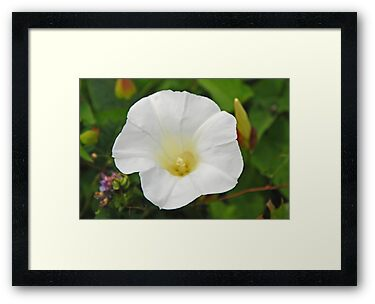 White Morning Glory (Field Bindweed) by mcstory