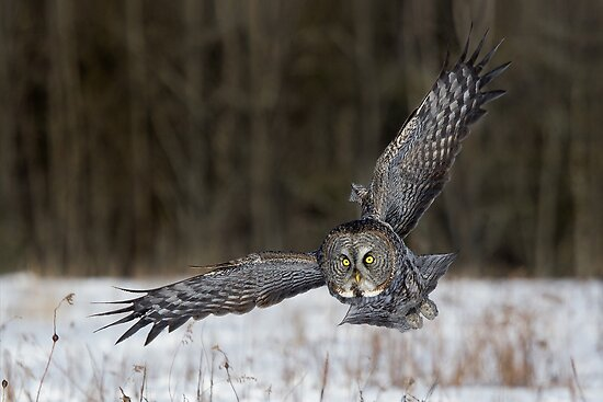 Great Gray Owl Intensity. by Daniel Cadieux