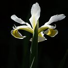 Iris in White and Yellow by Lozzar Flowers &amp; Art