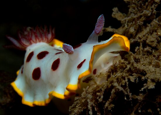 Fly Point Strawberry and Cream Nudi by Matt-Dowse