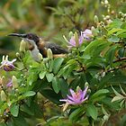Eastern Spinebill by Anne-Marie Ladegaard