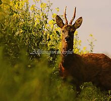 Male Roe deer in a field of rape seed (Animals) by Steve Parsons
