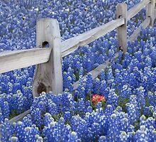 Texas Bluebonnets surround an Indian Paintbrush by RobGreebonPhoto