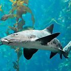 Leopard Shark by BarbaraSnyder