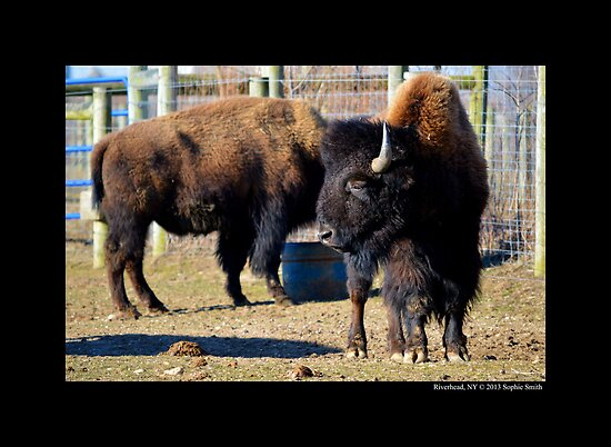 Bison Bison - American Bison by © Sophie W. Smith