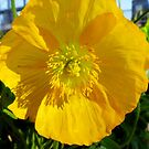 Yellow Poppy by WildestArt