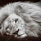 Sleepy Lion by DaveBassett