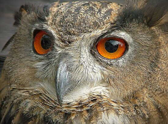 Eagle Owl by Colin J Williams Photography