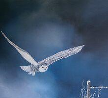 Snowy Owl by andy davis