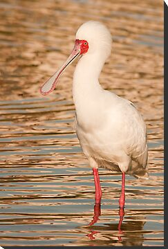 sunset spoonbill by AntonAlberts