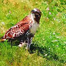 Red Tail Hawk Digital Painting by shutterrudder