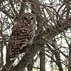 Barred Owl In Woods by Deb Fedeler