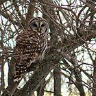 Barred Owl In Woods by Deb Fedeler