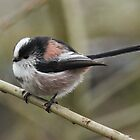 Long Tailed Tit by Hovis