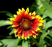 Gaillardia (Blanket Flower) Close-up  by taiche