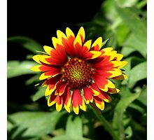 Gaillardia (Blanket Flower) Close-up  Photographic Print