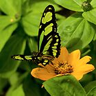Green Butterfly © by GardenJoy