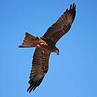 Black Kite by Chris Kean