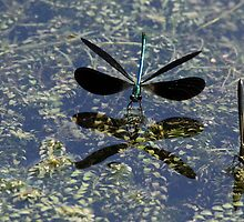 Ebony Reflection - Jewelwings by Debbie Oppermann