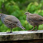 Him and Her........Californian Quail. by Roy  Massicks