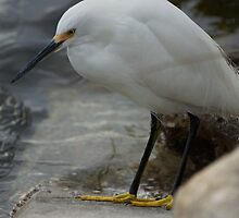 Snowy Egret by Scott Dovey