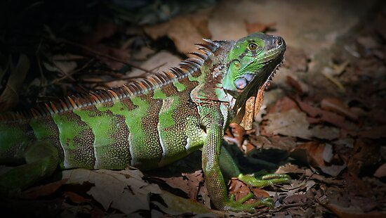 Iguana verde by jimmy hoffman
