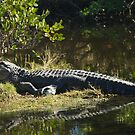 Alligator in the Sun by ValeriesGallery