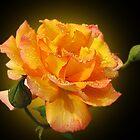 Rose by Irina777