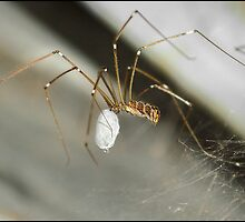 Mr Daddy Long legs by Helenvandy