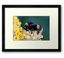 More of the bumble bee  Framed Print