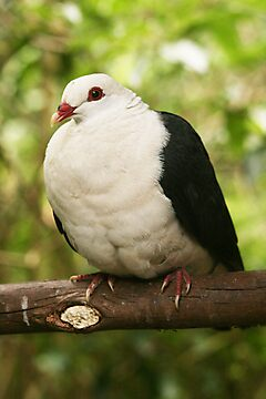 White-headed Pigeon by Jade Welch